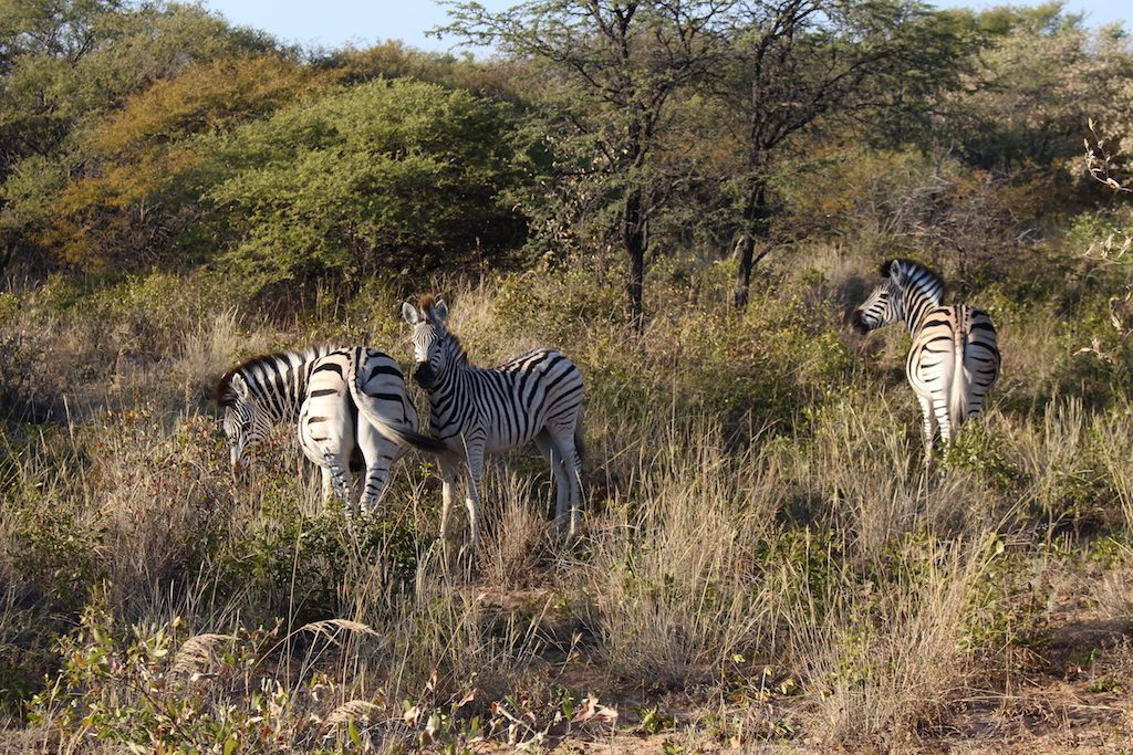 Some nervous zebra spied on our Botswana Safari in the Kalahari Desert
