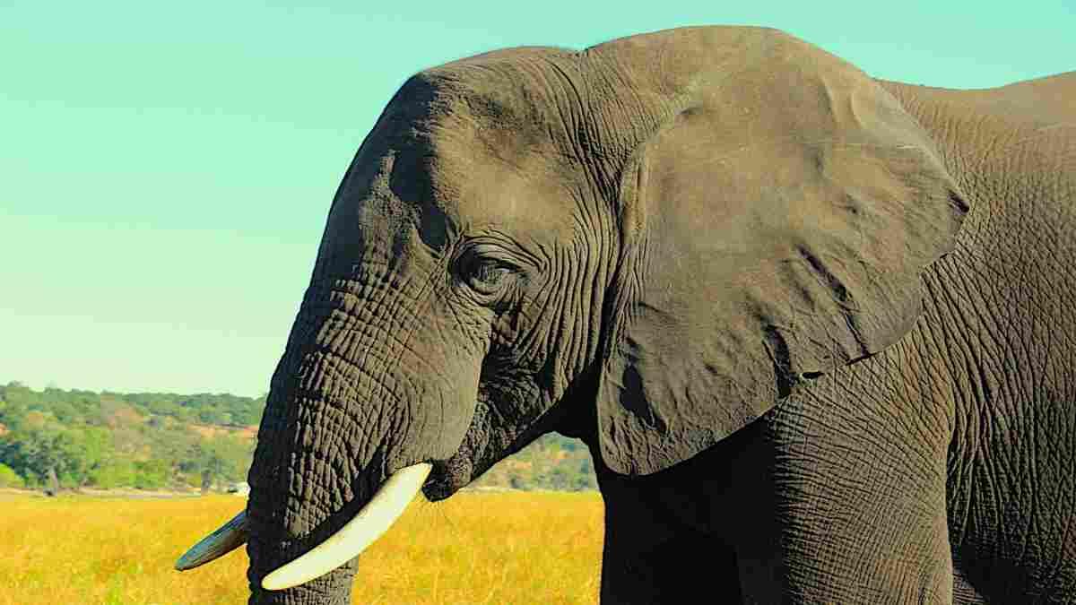 botswana safari elephant