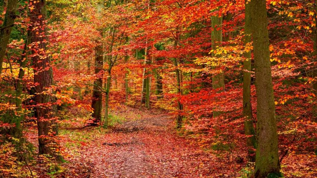 autumn in europe red forest